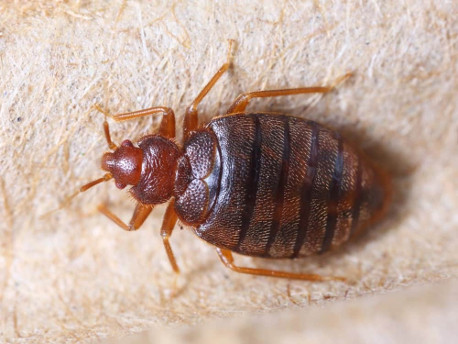 A picture of a bed bug.